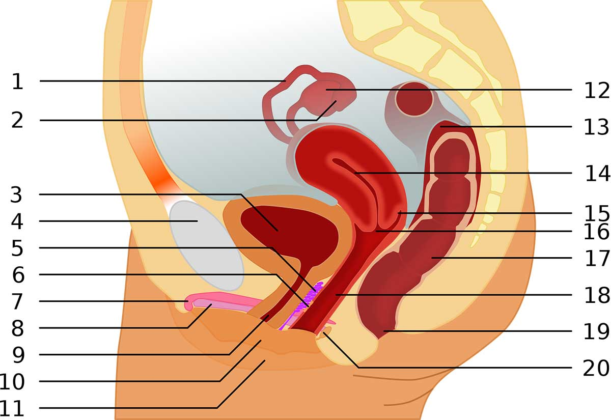 An illustration of the g-spot.